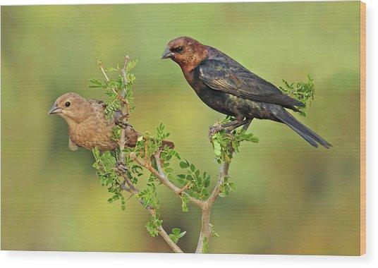 Brown Headed Cowbird Pair Wood Print