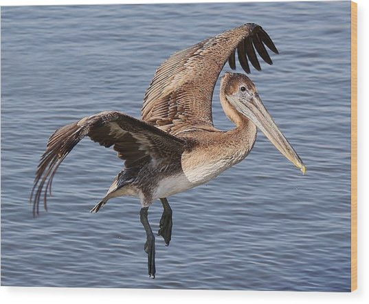 Brown Pelican In Flight Wood Print by Paulette Thomas