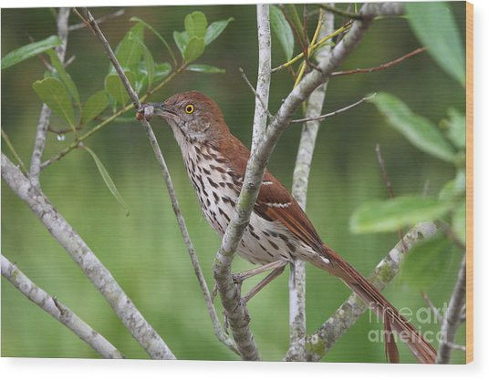 Brown Thrasher Snacking Wood Print