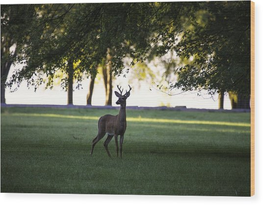 Buck At Dawn Wood Print