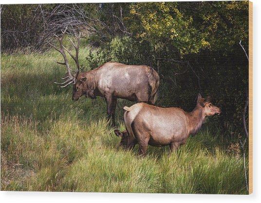 Bull Elk 7x7 Wood Print