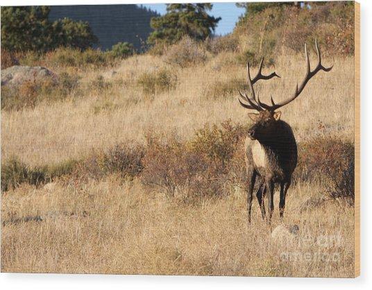 Bull Elk Watching Over Herd Wood Print