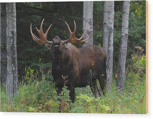 Bull Moose Flehmen Wood Print