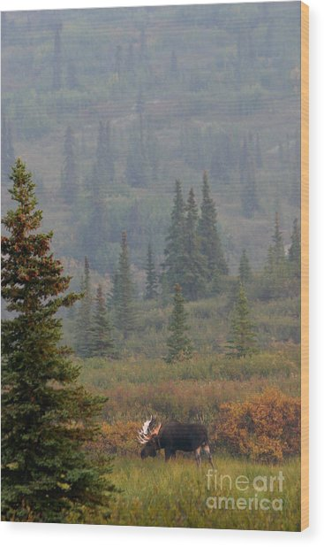 Bull Moose In Alaska Wood Print