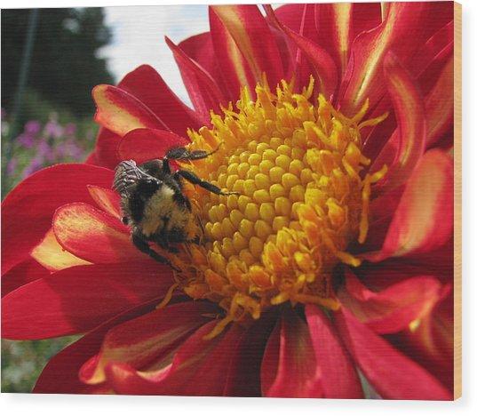 Bumblebee Dahlia 1 Wood Print