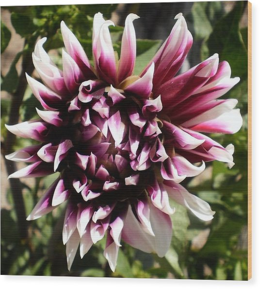 Burgundy And White Dahlia Wood Print by D J Larsen