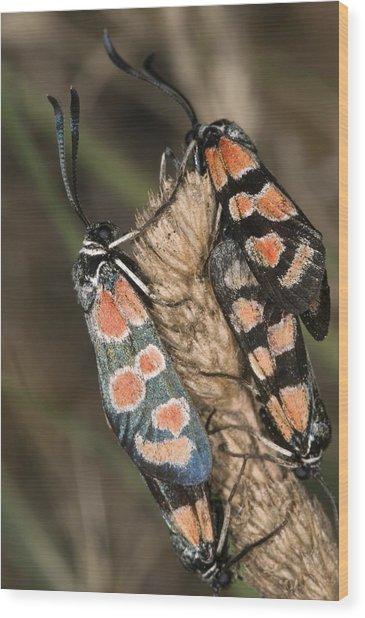 Burnet Moths Mating Wood Print by Paul Harcourt Davies
