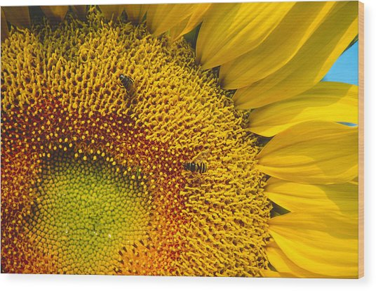 Busy Sunflower Wood Print