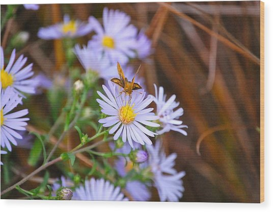 Butterfly And Aster Wood Print