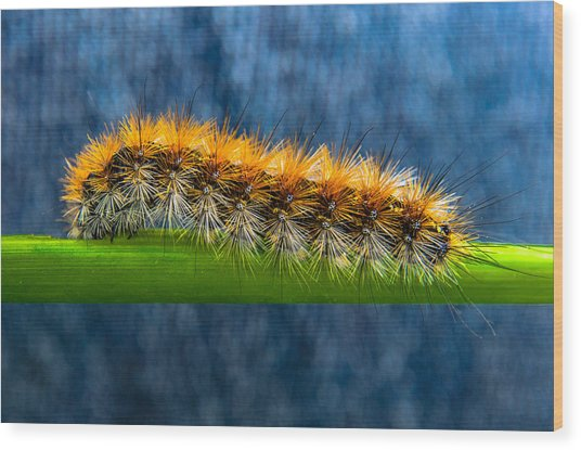 Butterfly Caterpillar Larva On The Stem Wood Print