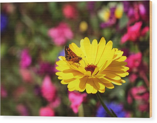 Butterfly Kissing Yellow Wildflower  Wood Print