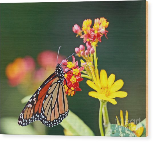 Butterfly Monarch On Lantana Flower Wood Print