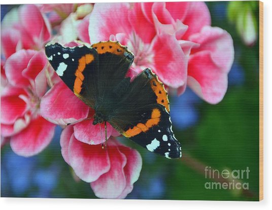 Butterfly Red Admiral Wood Print
