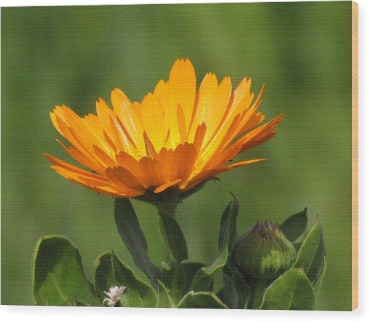 Calendula Bloom Wood Print