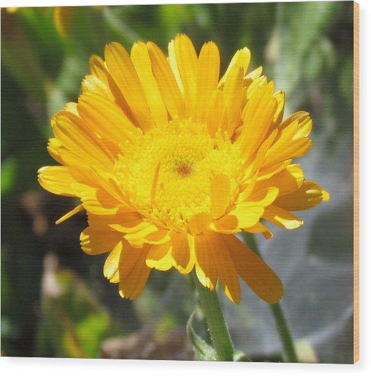 Calendula Blossom Wood Print
