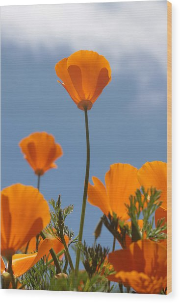 California Poppies Wood Print by Denice Breaux