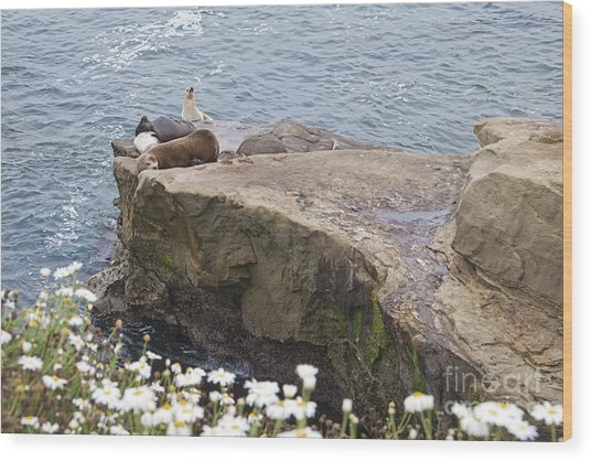 California Sea Lions Zalophus Californianus At La Jolla Shores Wood Print by Sherry  Curry