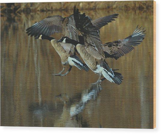 Canada Goose Trio Landing - C0843m Wood Print by Paul Lyndon Phillips