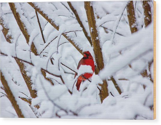 Cardinal In The Snow Wood Print by Barry Jones