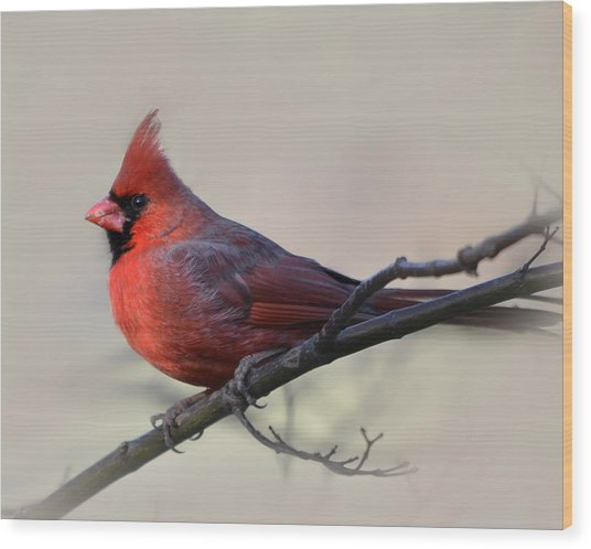 Cardinal On Gray Wood Print