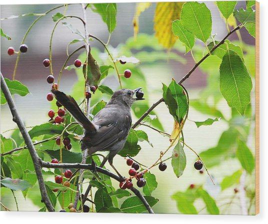Catbird With Berry - Rear View Wood Print