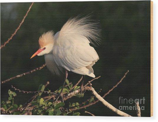 Cattle Egret Display Wood Print