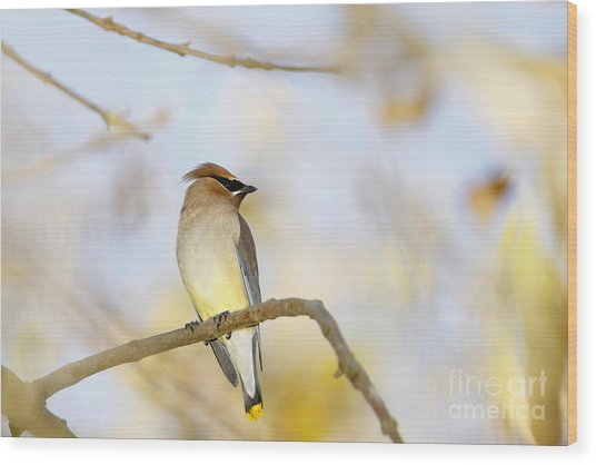 Cedar Waxwing On Yellow And Blue Wood Print