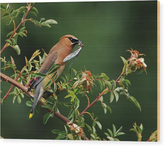 Cedar Waxwing With A Bug Wood Print