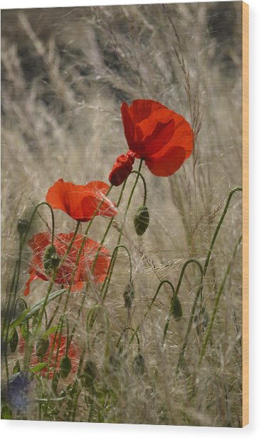 Chelsea Poppies I Wood Print by Dickon Thompson