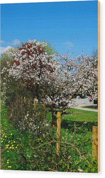 Cherry Blossom Wood Print by Peter Jenkins