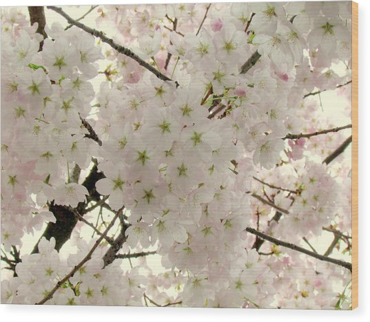 Cherry Blossoms II Wood Print