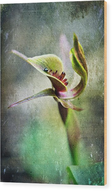 Chiloglottis Wood Print by David Lade