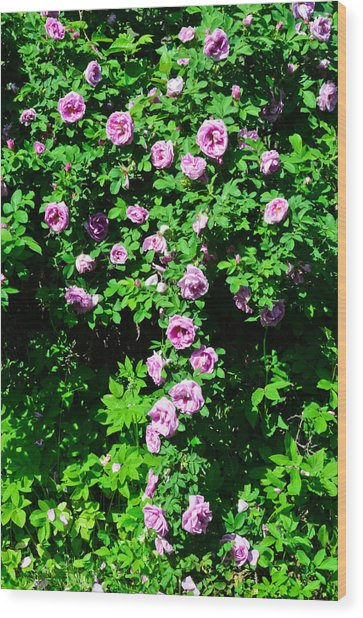 China Rose Wood Print