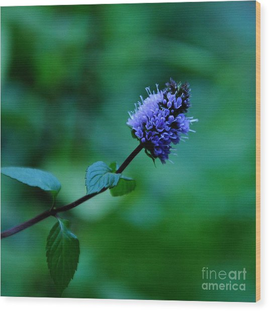 Chocolate Mint Bloom Wood Print