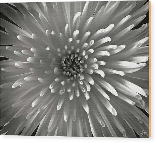 Chrysanthemum In Black And White Wood Print