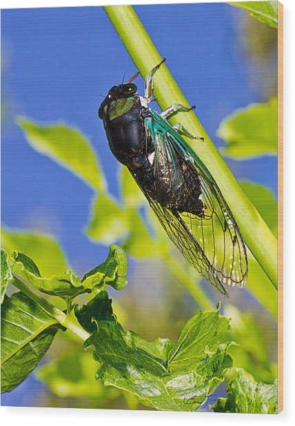 Cicada 002 Wood Print by Barry Jones