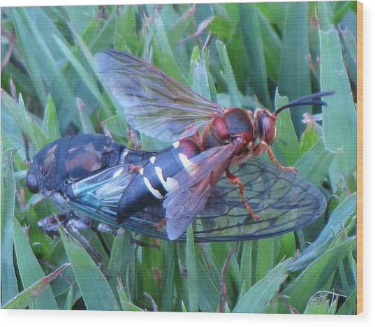 Cicada Killer Wood Print