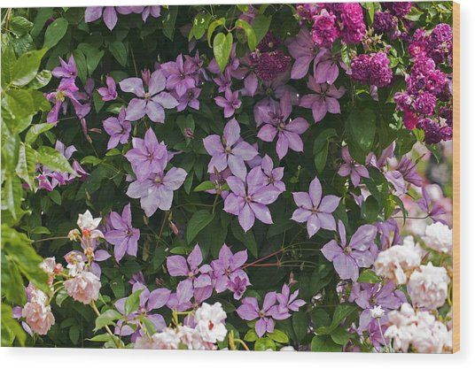 Clematis 'margaret Hunt' Wood Print by Dr Keith Wheeler