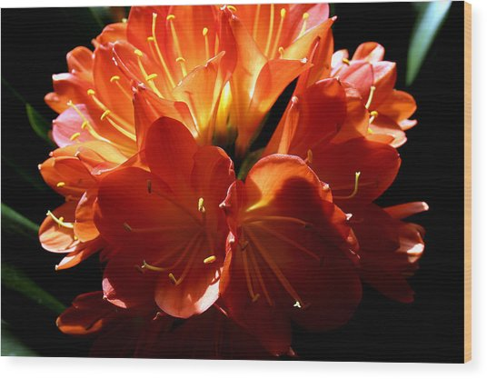 Clivia Bloom Wood Print by PIXELS  XPOSED Ralph A Ledergerber Photography