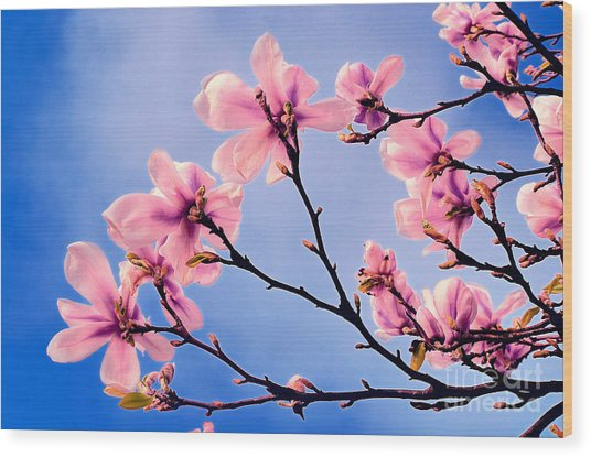 Cherry Blossums Wood Print