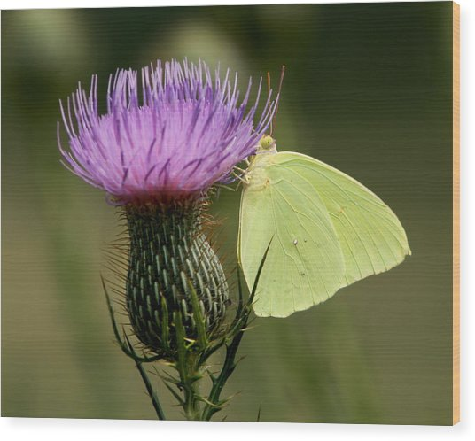 Cloudless Sulfur Butterfly On Bull Thistle Wildflower Wood Print