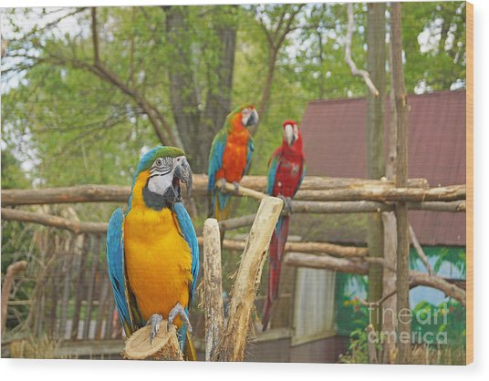 Color Of Parrots  Wood Print