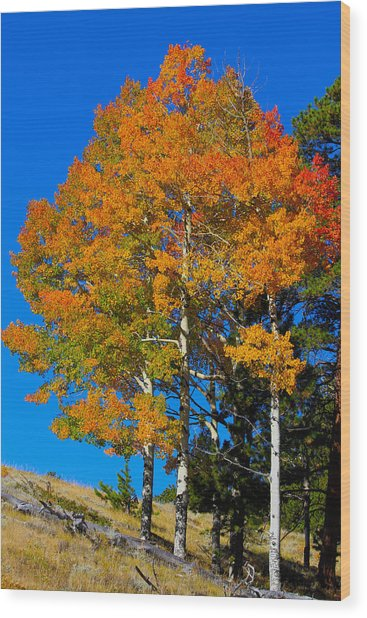 Colorado Aspens Wood Print