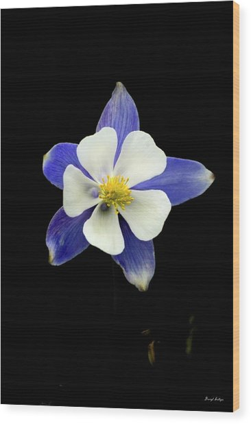 Colorado Columbine Wood Print by Darryl Gallegos