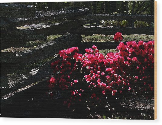 Colorful Azaleas Wood Print