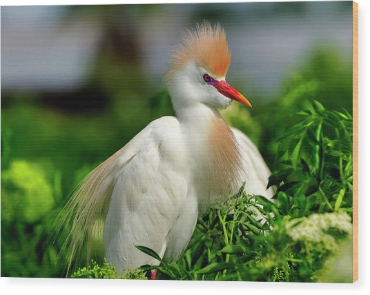 Colorful Cattle Egret Wood Print