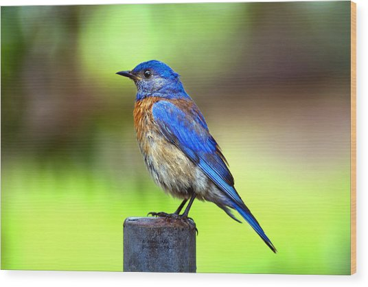 Colorful - Western Bluebird Wood Print