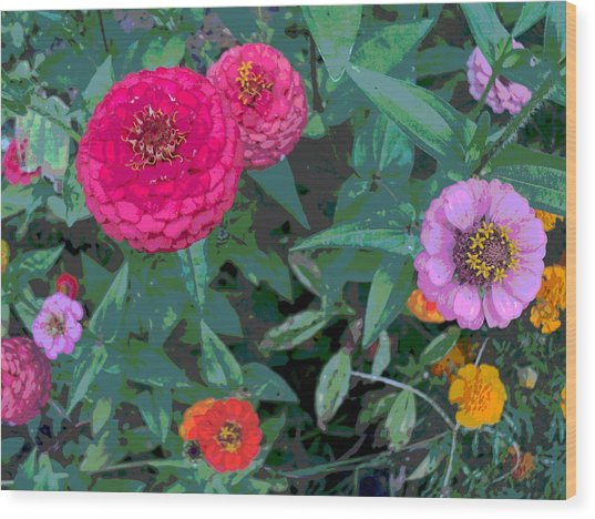 Colorful Zinnia Flowers Wood Print by Padre Art