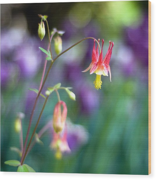 Columbine Flower Wood Print by Laura George