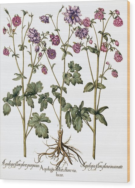 Columbine Flowers Wood Print by Georgette Douwma
